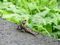 Indiańscy kameleony Fotografia Stock
