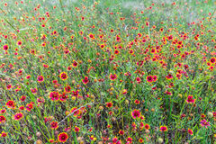 Indiańscy Powszechni Wildflowers w Teksas Zdjęcie Stock