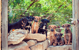 India. Seven homeless puppies. Royalty Free Stock Photography