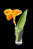 India short plant or canna lily Royalty Free Stock Images