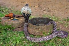 Indiańska kobra Obrazy Royalty Free
