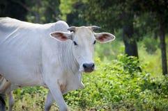 Indiańska krowa Obrazy Stock