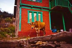 Indiańska krowa na smyczu Fotografia Stock