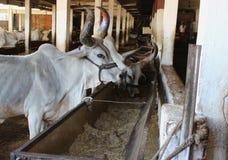 Indiańska krowa w cowshed Obrazy Stock