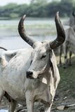 Indiańska krowa z rogami w gospodarstwie rolnym blisko Kutch Gujarat India Fotografia Stock