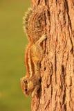 Indiańska palmowa wiewiórka na drzewie przy Agra fortem, Uttar Pradesh, Indi Zdjęcia Royalty Free