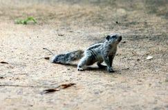 Indiańska palmowa wiewiórka na suchej piasek ziemi Fotografia Stock