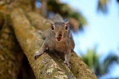 Indiańska palmowa wiewiórka od wyspy Sri Lanka na palmie Obrazy Stock