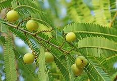 Indiański agrest, Phyllanthus Emblica Zdjęcia Stock