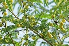 Indiański agrest, Phyllanthus Emblica Zdjęcie Stock