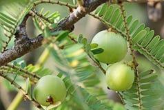 Indiański agrest, Phyllanthus Emblica Obrazy Stock