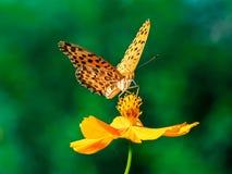 Indiański Fritillary motyl na kosmosu kwiacie 25 fotografia royalty free