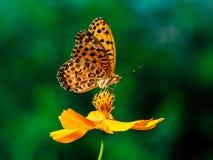 Indiański Fritillary motyl na kosmosu kwiacie 26 zdjęcie stock