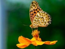 Indiański Fritillary motyl na kosmosu kwiacie 27 obraz royalty free