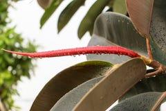 Indiański houseplant Ficus elastica zdjęcie royalty free