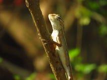 Indiański kameleon Obrazy Stock