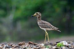 Indiański kolano ptak Zdjęcie Stock