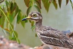 Indiański kolano ptak Zdjęcia Stock
