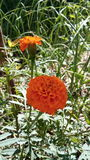 Indiański kwiat Zdjęcia Royalty Free