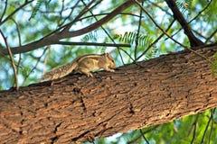 Indiański palmowy wiewiórczy Funambulus palmarum Zdjęcie Royalty Free