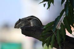 India?ski palmowy wiewi?rczy obsiadanie na drzewie zdjęcie stock