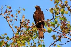 Indiański ptak: Brahminy kania Fotografia Stock