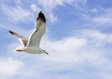 Indiański seagull Fotografia Royalty Free