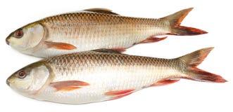 Indiański subkontynent Rohu lub Rohit popularna ryba Zdjęcie Stock