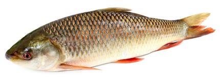 Indiański subkontynent Rohu lub Rohit popularna ryba Obrazy Stock