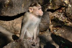 India. The state of Goa. Waterfall Dudhsagar. The monkey waits, when tourists date her something tasty royalty free stock photos