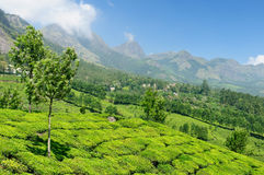 India, Tea plantation Royalty Free Stock Photos