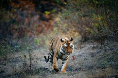 India Tiger. A huge male Tiger walks straight head on in Bandhavgarh National Park, India royalty free stock photos