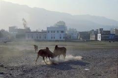 """1977 India Twee """"holy"""" stieren in een strijd Royalty-vrije Stock Afbeeldingen"""
