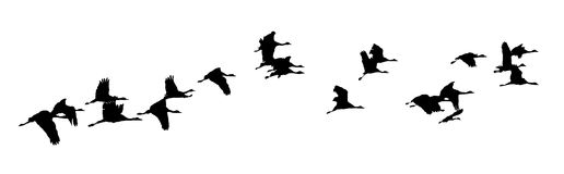 India,  vector of cranes. India, Flock of cranes at sunset: Vector; black birds silhouettes on a white background Royalty Free Stock Image
