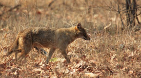 India Wild Dog. Photo of a wild dog roaming around Pench National Park, India Royalty Free Stock Photography