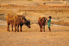 Young Cow-girl protecting the cattle in Poshina royalty free stock photo