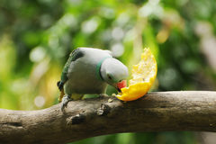 Indiaan δαχτυλίδι-necked parakeet, ζωολογικός κήπος της Αδελαΐδα, Νότια Αυστραλία Στοκ φωτογραφίες με δικαίωμα ελεύθερης χρήσης