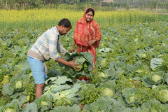 Indian Agriculture Royalty Free Stock Images