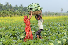 Indian Agriculture Royalty Free Stock Photo