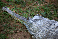 Indian aligator royalty free stock photography