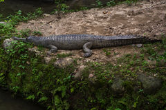 Indian alligator resting on ground Royalty Free Stock Photography