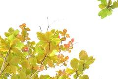 Indian almond in autumn Stock Photos