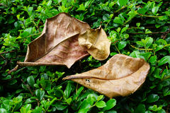 Indian Almond Leaves, Foliage dry leaf Royalty Free Stock Photo