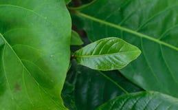 Indian almond Royalty Free Stock Photos