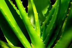 Indian Aloe Vera Plant-II Royalty Free Stock Photos