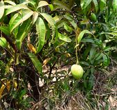 Indian Alphonso Mango on Mango Tree - Mangifera Indica. This is a photograph of an unripe Indian alphonso mango fruit hanging from a mango tree... The photograph Stock Images