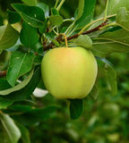 Indian-Apple in an orchard Royalty Free Stock Images
