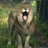 Indian or Asiatic Lion Royalty Free Stock Photography