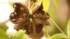 Indian Ayurveda Medicated Fruits closeup stock video footage
