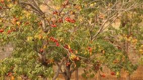 Indian Ayurveda Medicated Fruits closeup stock video